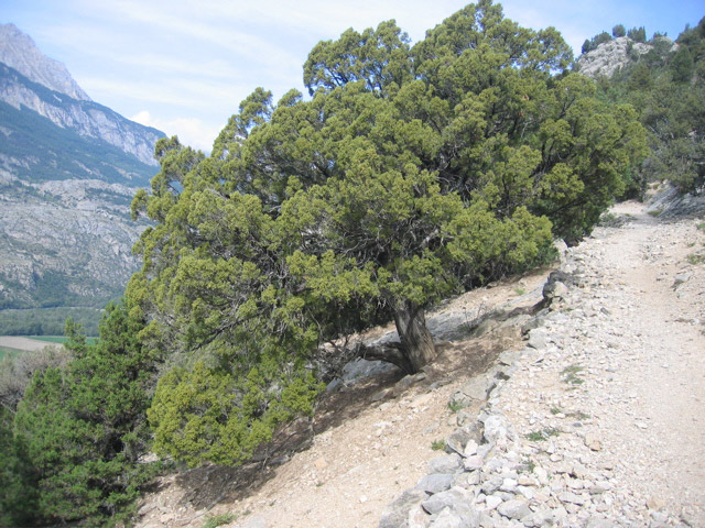 Juniperus thurifera, Alps