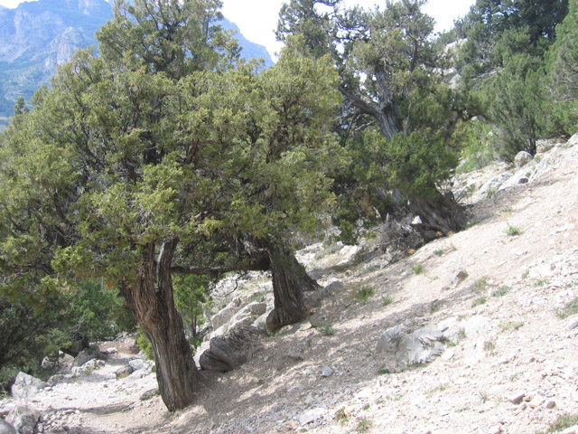 Juniperus thurifera woodland, Alps